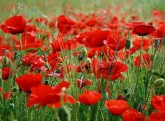 Red Corn Poppy Flower Seeds - Papaver rhoeas