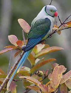 Malabar parakeet.