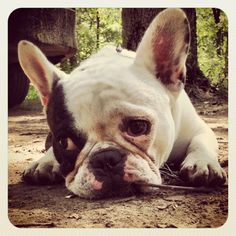 "Miles doesn't like Camping....he wants to go Home"", sad French Bulldog."