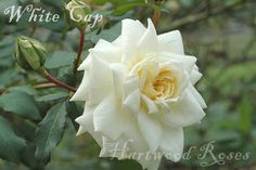 White Cap - Climbing Hybrid Tea, white, 60 petals, fragrant, 1954, rated 6.5 (below average) by ARS.