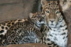 Denver Zoo is celebrating the birth of a Critically Endangered Amur (ah-Moor) Leopard cub named Sochi, born December 3!   Amur Leopards are considered the most endangered cats on the planet. This is the second cub for proud parents Dazma and Hari-Kari, who were paired by the Association of Zoos and Aquariums' Species Survival Plan for Amur Leopards.   See more: http://www.zooborns.com/zooborns/2014/01/amur-leopard-denver-zoo.html