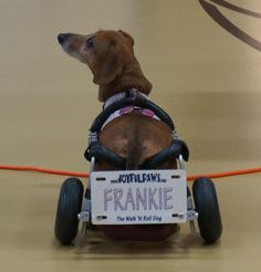 I think it is very important to not take pity on a dog who may have special needs or lose the loss of their hind legs due to paralysis or injury. Dogs are the best example of adversity I've ever seen and Frankie the Walk 'N Roll Dog was one shining example.
