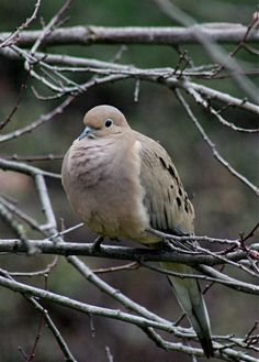 MOURNING DOVE  Zenaida macroura  ©Laura Quick        The species' scientific name was bestowed in 1838 by French zoologist Charles L. Bonaparte in honor of his wife, Princess Zénaide.      The bird is also called the Western Turtle Dove, American Mourning Dove, Rain Dove, Carolina Pigeon or Carolina Turtledove      It is one of the most abundant and widespread of all North American birds.