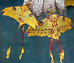 Comet Moths-Madagascan moon moth is an African moth, native to the rain forests of Madagascar.  ( Wonders of Nature &  Beauty )