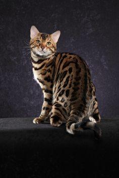 Starangel New Jersey Bengal Cat New Jersey Bengal Breeders Nj