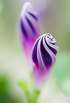 Flores PIMPOLLO DE GLORIA DE LA MAÑANA