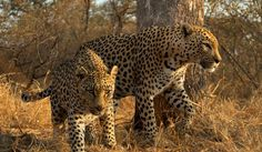 Photo of the Day: Leopards on the Prowl | Smithsonian