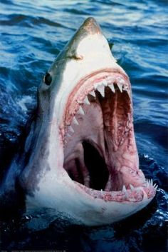 Great White Shark - Carcharodon carcharias The great white shark, Carcharodon carcharias, also known as great white, white pointer, white. Shark Pictures, Shark Photos, Orcas, Sharks With Human Teeth, Beautiful Creatures, Animals Beautiful, Hai Tattoo, Shark Tattoos, Megalodon