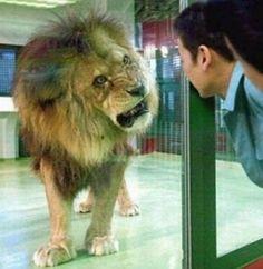 Lion look daggers