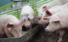 U.S. Hogs Fed Pig Remains, Manure to Fend Off Deadly Virus Return. Farmers fear a diarrheal disease that wiped out a tenth of the nation's herd two years ago...