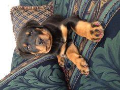 Kena the Rottweiler puppy