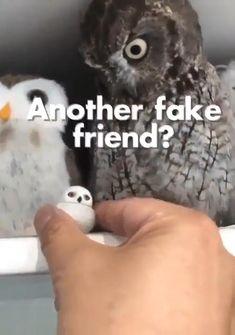 Funny Owls, Cute Funny Animals, Funny Cute, Hilarious, Funny Animal Memes, Funny Animal Videos, Funny Animal Pictures, Funny Video Memes, Stupid Funny Memes