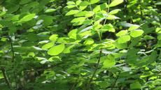 Fraxinus latifolia,  Oregon Ash in the wild up by Forestville - grid24_6