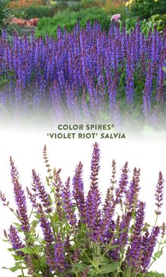 This colorful perennial salvia produces vivid violet blue flower spikes atop its fragrant mounded foliage. 'Violet Riot' is easy to grow in almost any climate in full sun. This beautiful perennial will attract the pollinators to your garden and resists deer and rabbits. Plant in drifts for a stunning effect. Cut the flower spikes for a colorful and aromatic addition to your summer flower arrangements. Summer Flower Arrangements, Summer Flowers, Colorful Flowers, Blue Flowers, Blue Plants, Border Plants, Proven Winners, Plant Needs