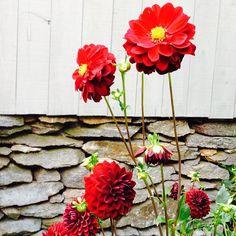 Outdoor Plants, Dahlia, Perennials, Planting Flowers, Home And Garden, Sky, Wine, Pretty, Heaven