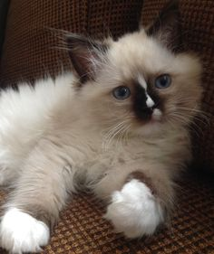 Reese Willow 9 wk old seal mitted Ragdoll
