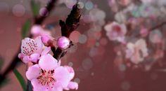 Flor de Cerezo destellos de sol rosas.