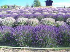 Lavender:  #Lavender in Sequim, Washington, USA.