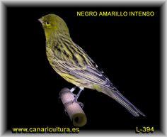 canarios amarillos y negros | negro-amarillo-intenso