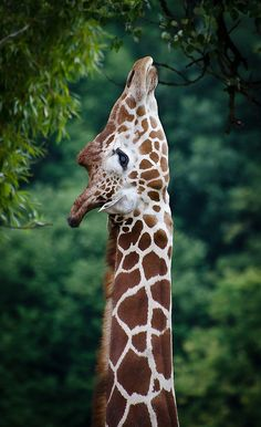 Giraffe reaching for low hanging branches!