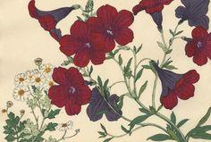 """Цветы Конана Танигами (Konan Tanigami)(1879 - 1928). Петуния. Опубликовано в альбомном варианте """"Western plants and Flowers"""" (""""Растения и цветы запада"""") в Киото"""