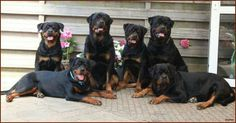 Awh it's a whole gang of rotties! I will have this many some time...