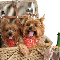 Yorkshire Terriers - A must for any picnic!