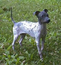 American Hairless Terrier.