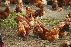 Guide to Chicken Labels: Confused by all the labels on your food? Learn more about the labels on your chicken and find out which ones to watch and which...