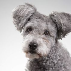 There's Officially a New Dog Breed and It Looks Like an Adorable Teddy Bear
