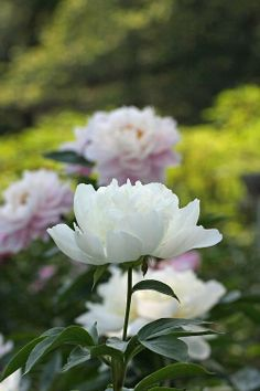Who needs color, when You have these beauties?? Peony