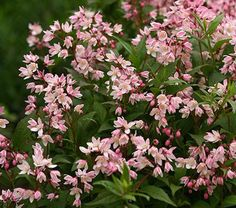 A delightful dwarf Deutzia that covers itself with clusters of pink blooms in spring. When the garden cools down in fall, the leaves add another color note with shades of burgundy. An ideal ground cover. A Proven Winners® variety. 'NCDX2' PPAF  There are about 60 species of woodland shrubs in the genus Deutzia, but only about a dozen of them have garden value as intense spring bloomers. Average soil and full sun suits them just fine. Although the great French plantsman, Victor Lemoine, bred…