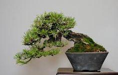 Resultado de imagen para shohin bonsai japan