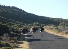 Ostrich, Cape Point National Park, Cape Town, South Africa Table Mountain, Weird And Wonderful, Cape Town, South Africa, Places To Go, National Parks, Wildlife, African, Spaces