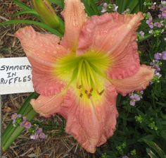Daylily, Hemerocallis 'Symmetry in Ruffles' (Kirchhoff, 1999)