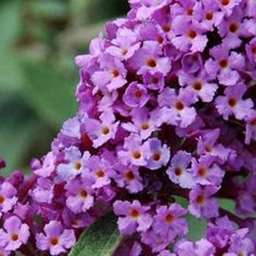 Your own classic English garden where you can savour some tea and crumpets? Buddleja Davidii, Tea And Crumpets, English Country Gardens, English Style, Amazing Gardens, Planting Flowers, Beautiful Flowers, Create Your Own, Lavender