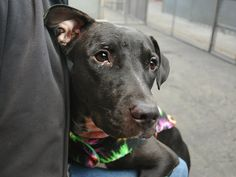 A1055092_Liannie am a female black and white pit bull mix. The shelter thinks I am about 1 YEAR  NYC AC&C Killed Me and I was just a puppy with so many more years to live. But now I'm dead .