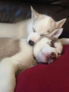 Can't handle the Siberian Husky puppy cuddle cuteness in this pic!! ♡♥♡♥♡