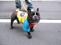 Mr. Biggie, French Bulldog ❤
