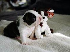 'Precious' the boston terrier with the Boston Beanie