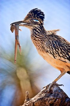 Roadrunners have eaten plenty of lizards on our patio