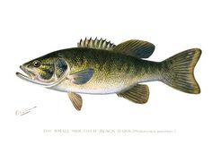 S.F. Denton  Small-Mouthed Black Bass  Micropterus doloieu