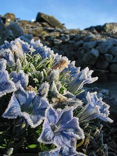 Gentiana 'Silken Skies' on a frosty September day. Photo by Martin Hjaman/Arctic University of Norway