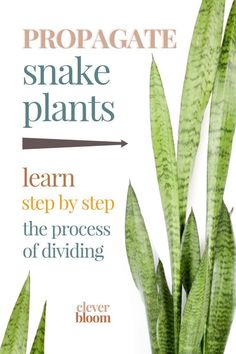 Looking to propagate your snake plant the easy way? We'll show you, step by step, how to divide Sansevieria. With just a few things (you probably have around the house) you'll be on your way to propagating in no time! Cactus Plants, Garden Plants, Indoor Plants, Indoor Herbs, Indoor Gardening, Air Plants, House Plants Decor, Plant Decor, Planting Succulents