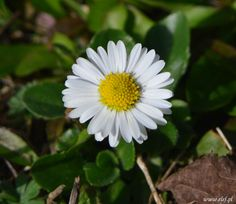 """Stokrotka,+Daisy+(Bellis+perennis)...+(from+<a+href=""""http://elsf.pl/picture.php?/119/category/1"""">Luźna+sztuka+fotografii...</a>)"""