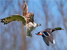 z- Owl Furious When Duck Intersected Its Flight Path- Chased It Back to Pond