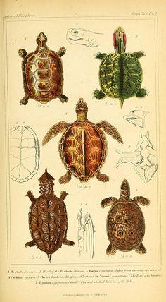 turtles  (Biodiversity Library)