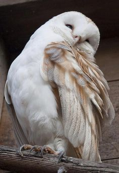 Beautiful Barn Owl...ain't I handsome?