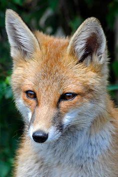 Red Fox   Royal Horticultural Society