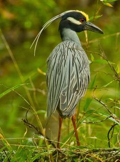 A Yellow-crested Night Heron at Beavers Bend State Park in southeast Oklahoma. by: Lindell Dillon